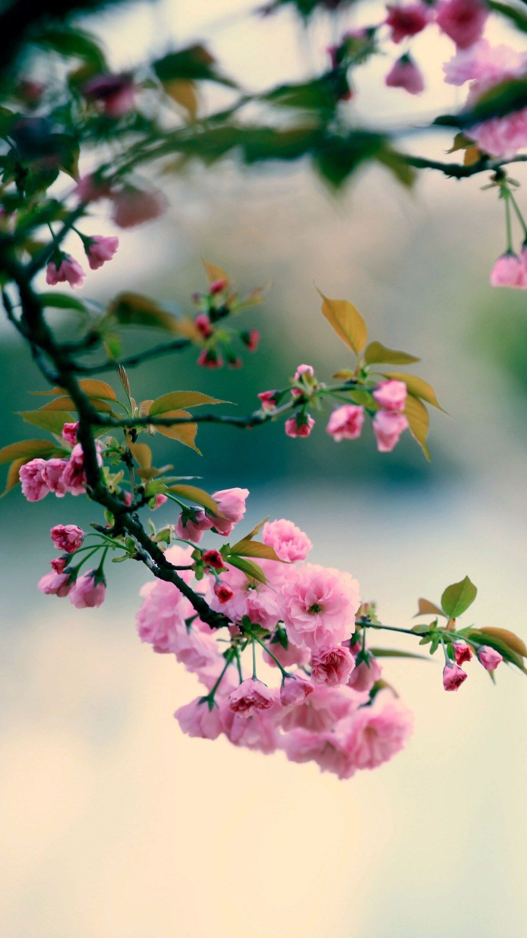 Nature Spring Plum Branch Bokeh Blur Iphone 8 Wallpapers Beautiful Flowers Wallpapers Flowers Photography Wallpaper Flowers Photography