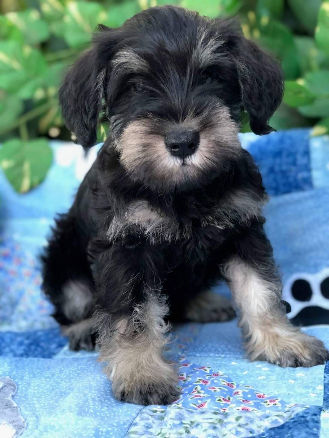 Pin by Pam Peters on Animals in 2020 Schnauzer puppy