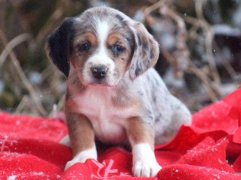 Beagle Miniature Australian Shepherd Mix Puppy For Sale In Mount