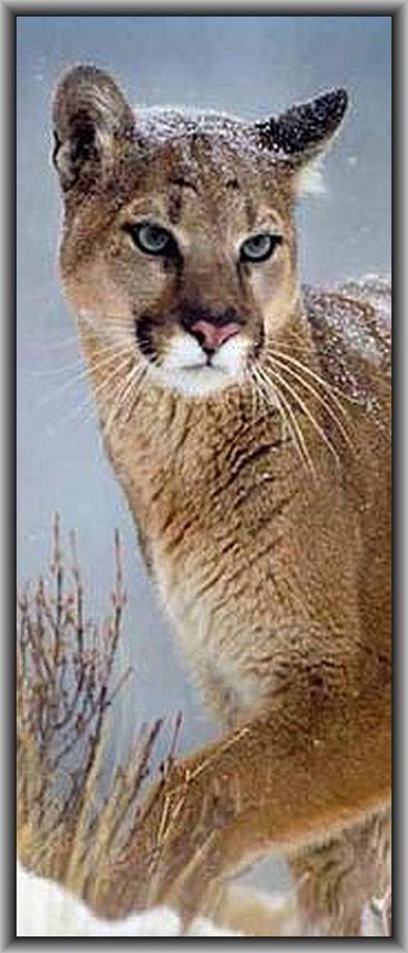 PUMA ( Cougar Mountain Lion )  ARIZONA - Brandon Holton - Grand Canyon National Park #wildlife #by Tim Fitzharris on instagram.com
