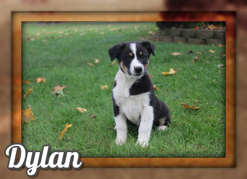 Dylan Male Australian Cur Mix 325 Shepherd Mix Puppies