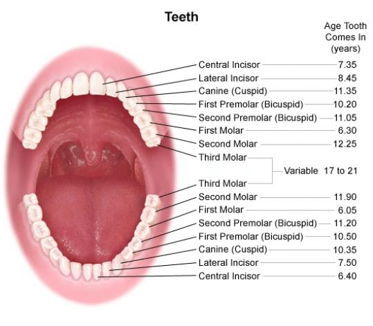 A helpful diagram that provides the names of each tooth and the a helpful diagram that provides the names of each tooth and the approximate age for when each one arrives greatlakesdental drjenniferthomm dentist ccuart Choice Image