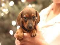 Male Mini Dachshund Puppies Dogs Pets And Livestock Riverton