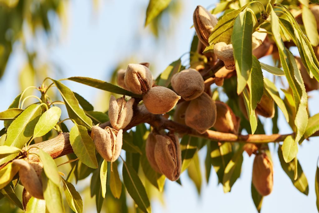 Almond tree just before harvest. The almond hull has cracked and dried,  exposing the