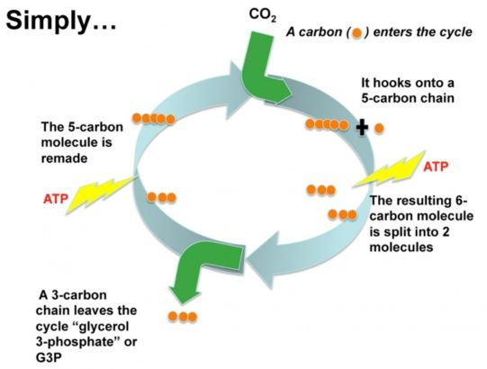 Process of photosynthesis step by step