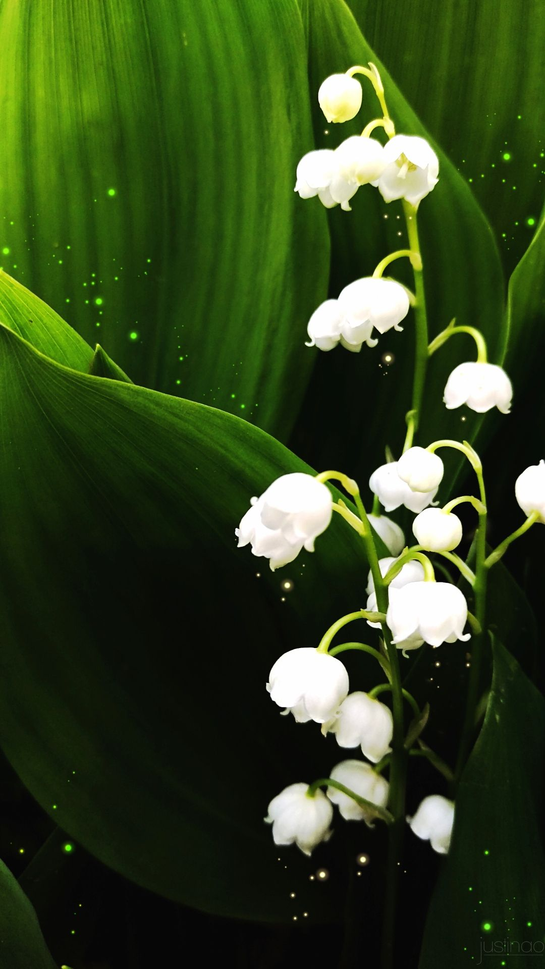 Lily Of The Valley Lily Of The Valley Flowers Flower Background Wallpaper Flower Phone Wallpaper Coolest bell flower wallpaper