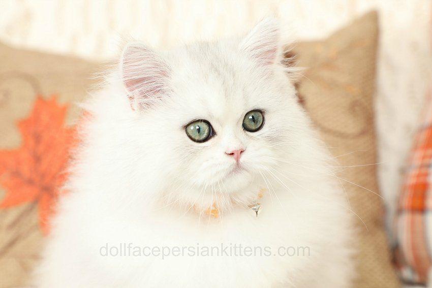 Doll Face Persian Kitten Www Dollfacepersiankittens Com Kittens Persian Kittens Cats Kittens