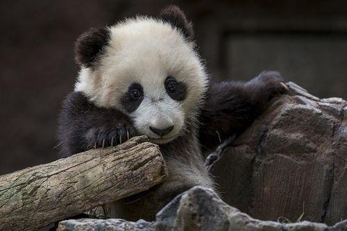 Adopt A Panda By Official San Diego Zoo Panda Bear Baby Panda Panda Bears Wallpaper