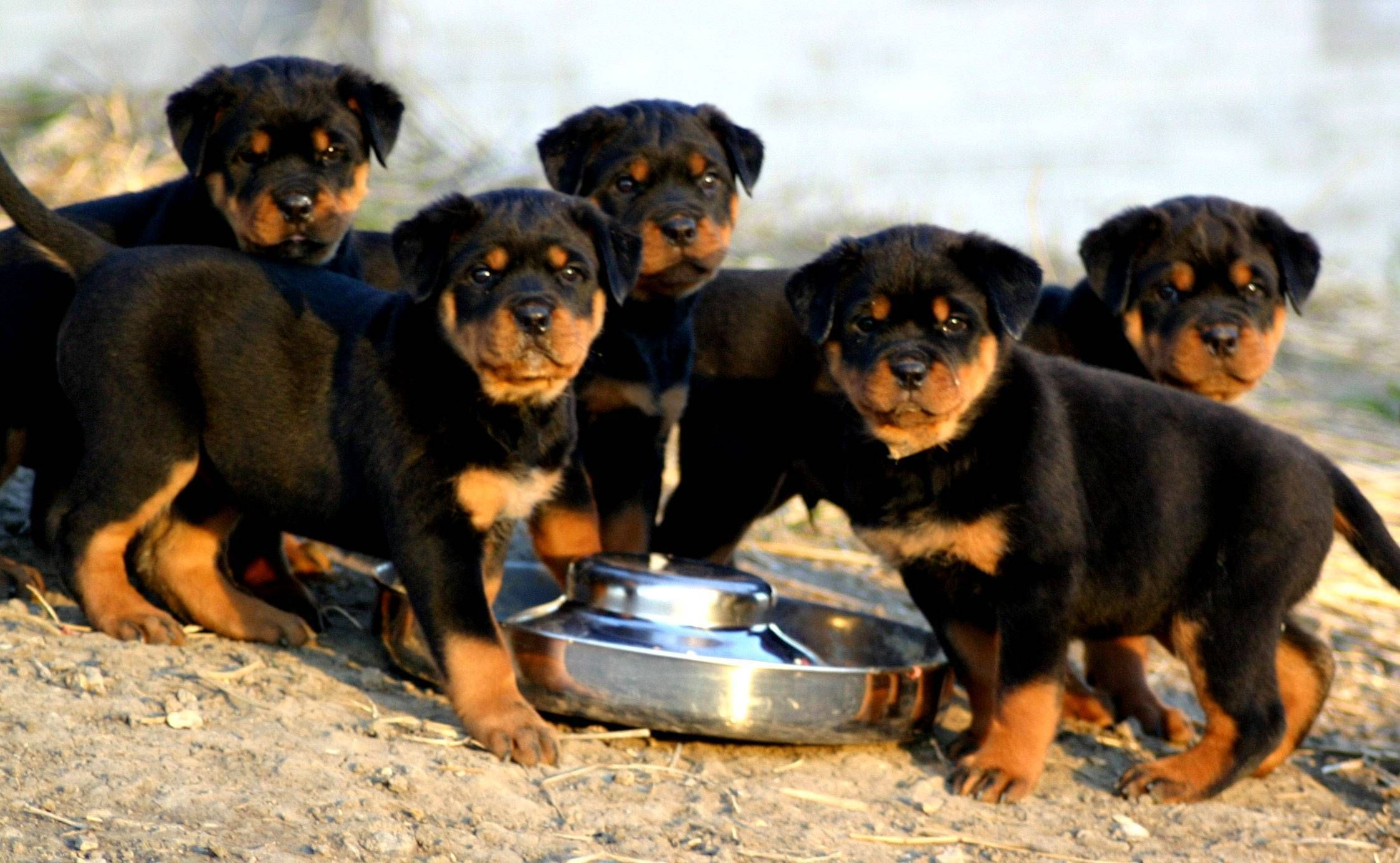I Love Rottweilers But I Like The Ones Without Tails I Think They