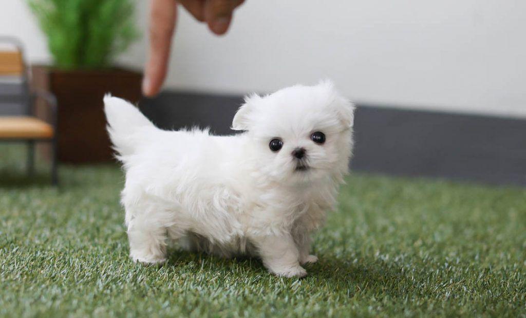 Teacup Maltese Puppy Teacup Maltese Teacupmaltese Teacupdogs