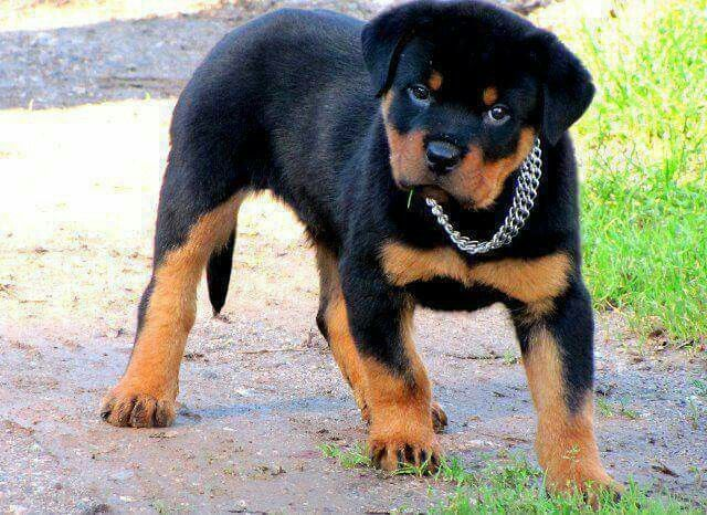 Pin By Pamela Mcgee On Rottweilers Dogs Rottweiler Dog