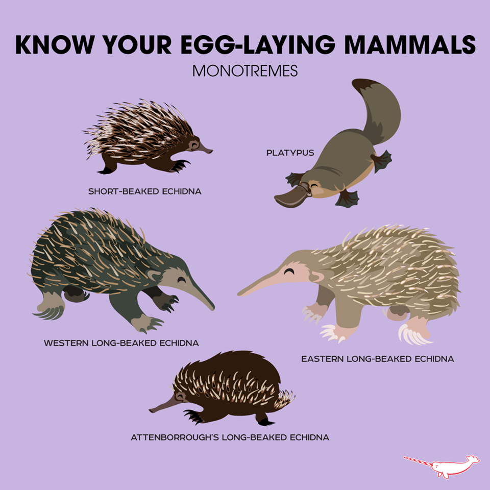 know your egglaying mammals monotremes know your