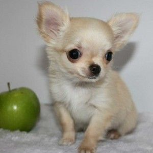 Apple Head Chihuahua Puppies For Sale Chihuahua Puppies