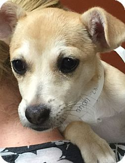 Chihuahua Mix Puppy For Adoption In Oswego Illinois Peanut