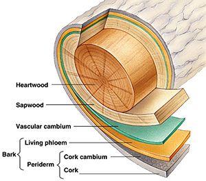 Good explanation of different tree bark types.   Tree Bark ...