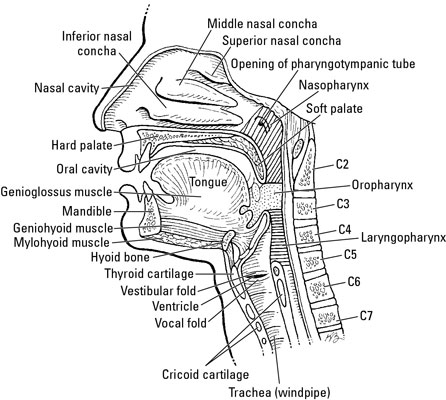 The Pharynx, Larynx, and Trachea in 2020 (With images