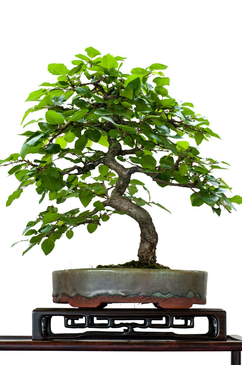 Hainbuche carpinus betulus als bonsai the tiny world for Bonsai pflanzen