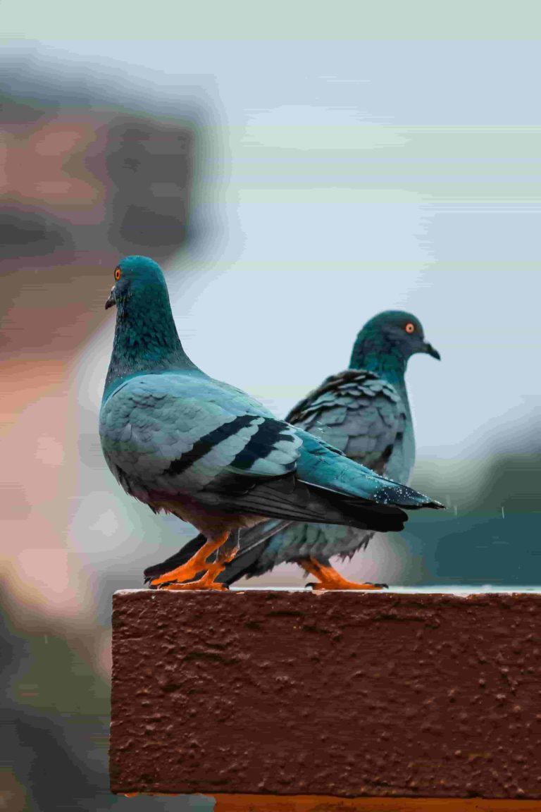 100 من احلى صور حمام بالعالم بجودة Hd خلفيات حمامات 2020 مع رابط التحميل الطير الأبابيل Animals Bird