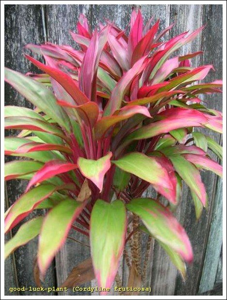 Common Name Good Luck Plant Cordyline Fruticosa Ti Plant Plants Foliage Plants