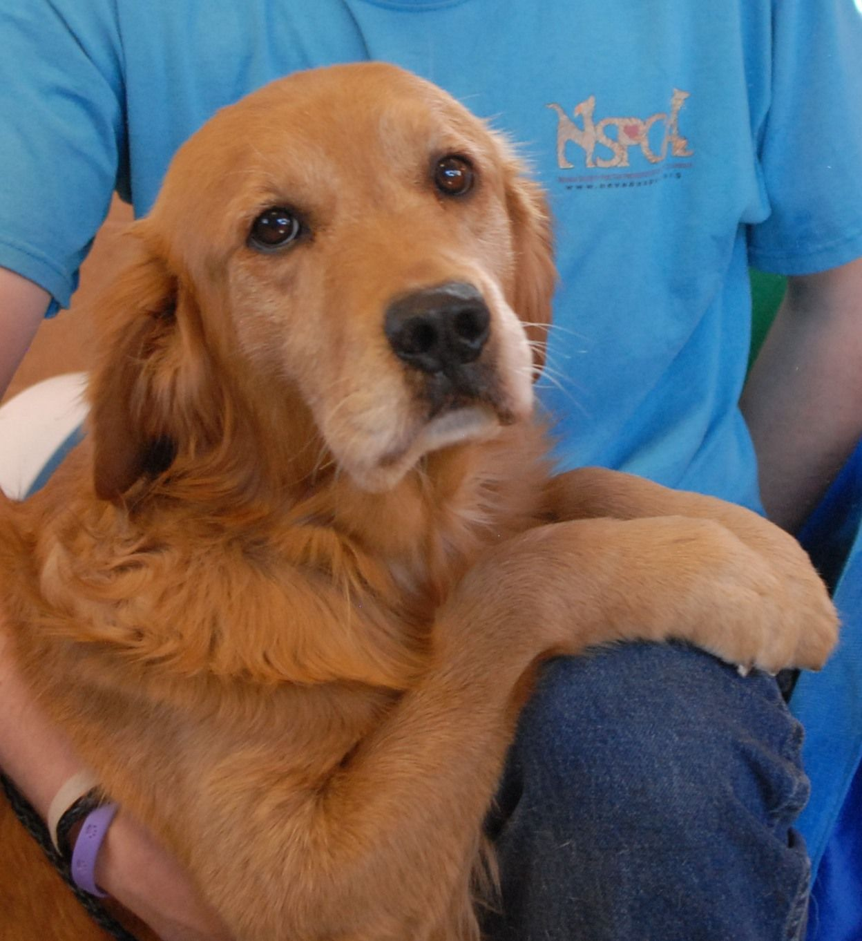 Honeybee Was Found Abandoned In A Park And No Amount Of Hugs Has Yet To Mend His Broken Heart He Is An Exceptionally Docile Golden Retriever About 6 Years Of