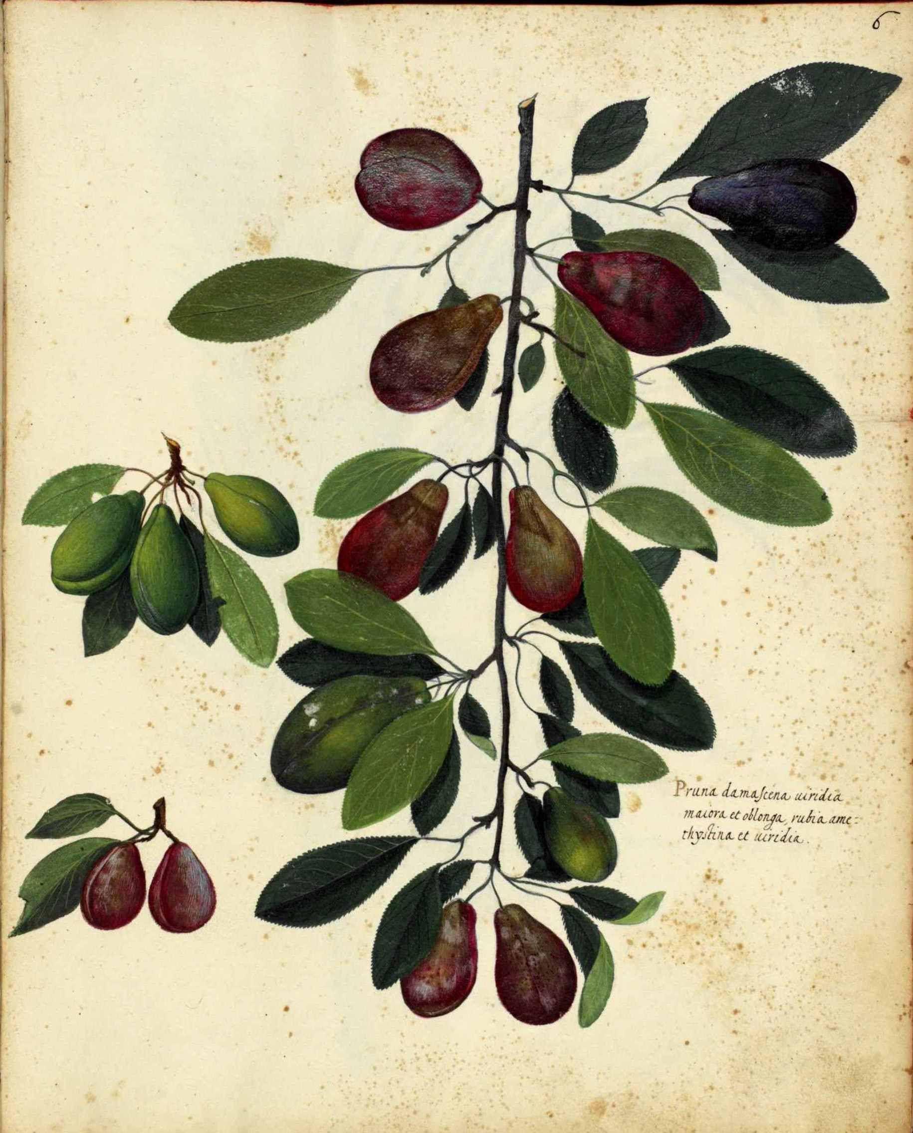 botanical fruit plums italian 1 winter inspiration pinterest