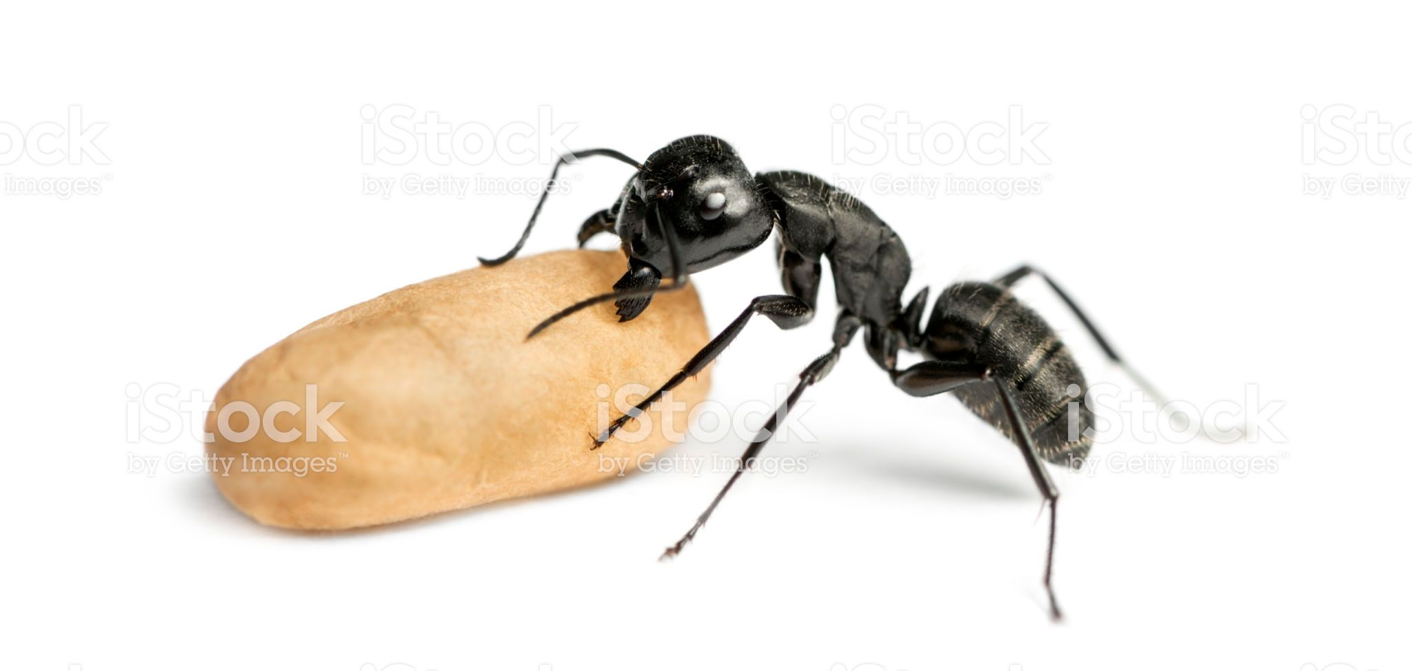 Carpenter Ant Camponotus Vagus Carrying An Egg Ants Insects