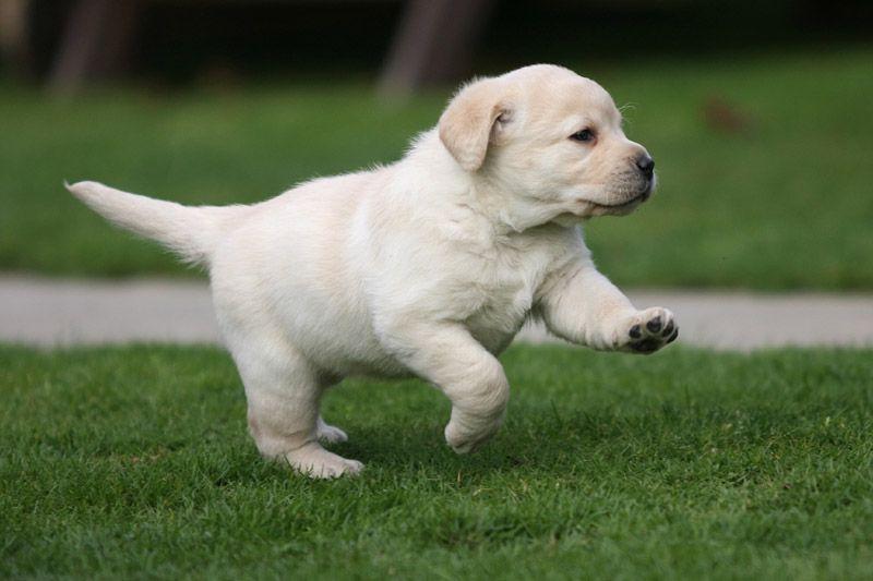 Labrador Pup Labrador Puppy Labrador Retriever Lab Puppies