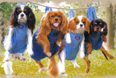 Pin By Maria Foreman On Puppies Cavalier King Charles Dog King