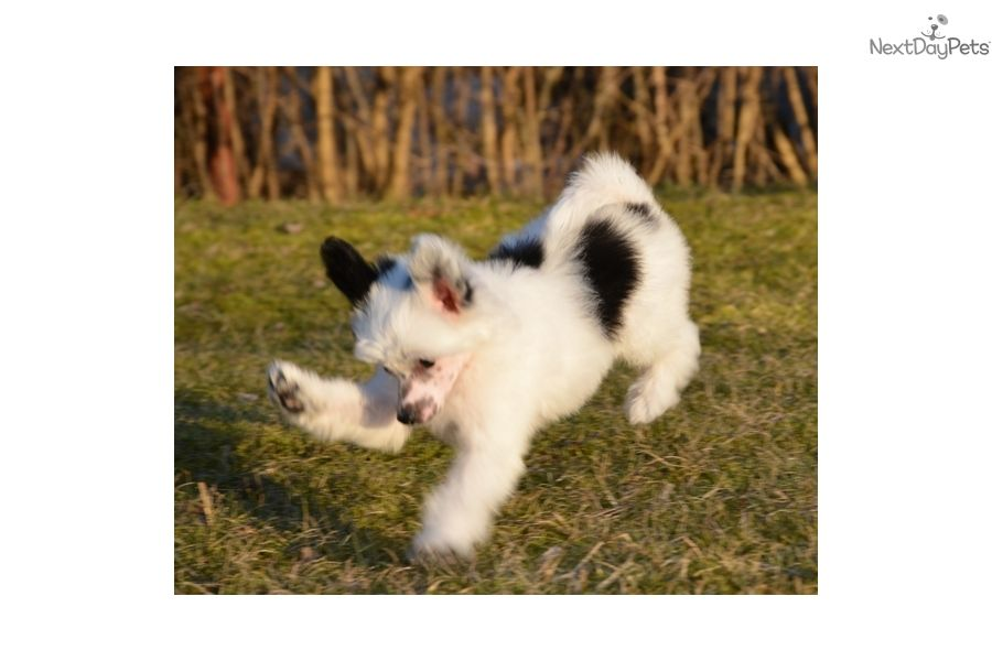 Chinese Crested puppy for sale near Houston, Texas This