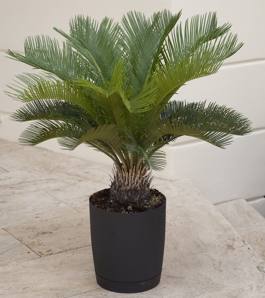 the spiky fronds of sago palm an unmistakable look