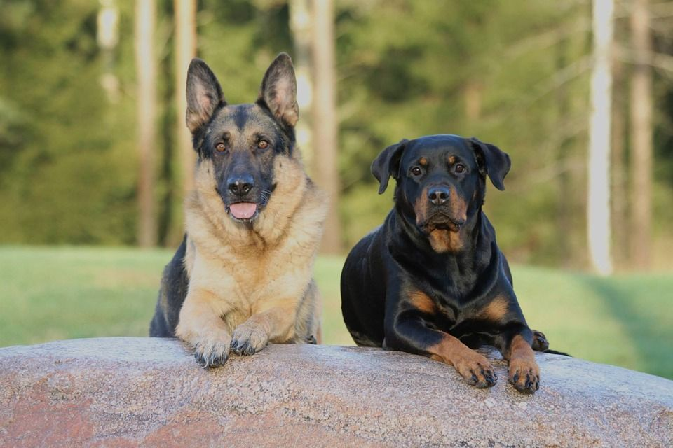 German Shepherd Dog Price Buy Kci Registered German Shepherd Puppies For Sale In India Get Healthy And Purebred Rottweiler Mix Dog Breeds Rottweiler Puppies