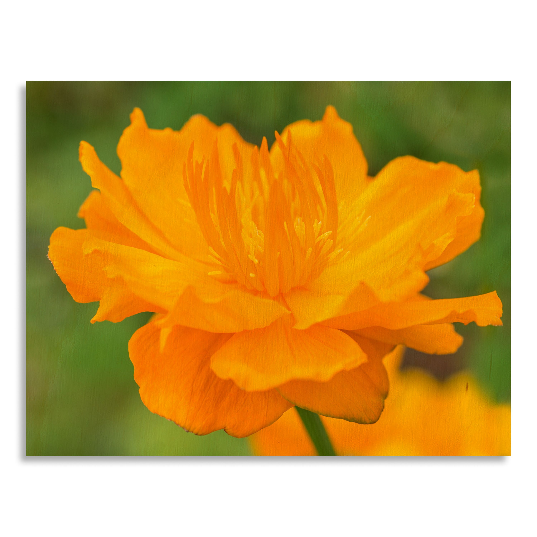 Gallery direct flowers trolliusu printed on birchwood wall art by