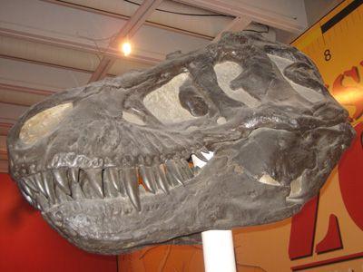 Theropod skull