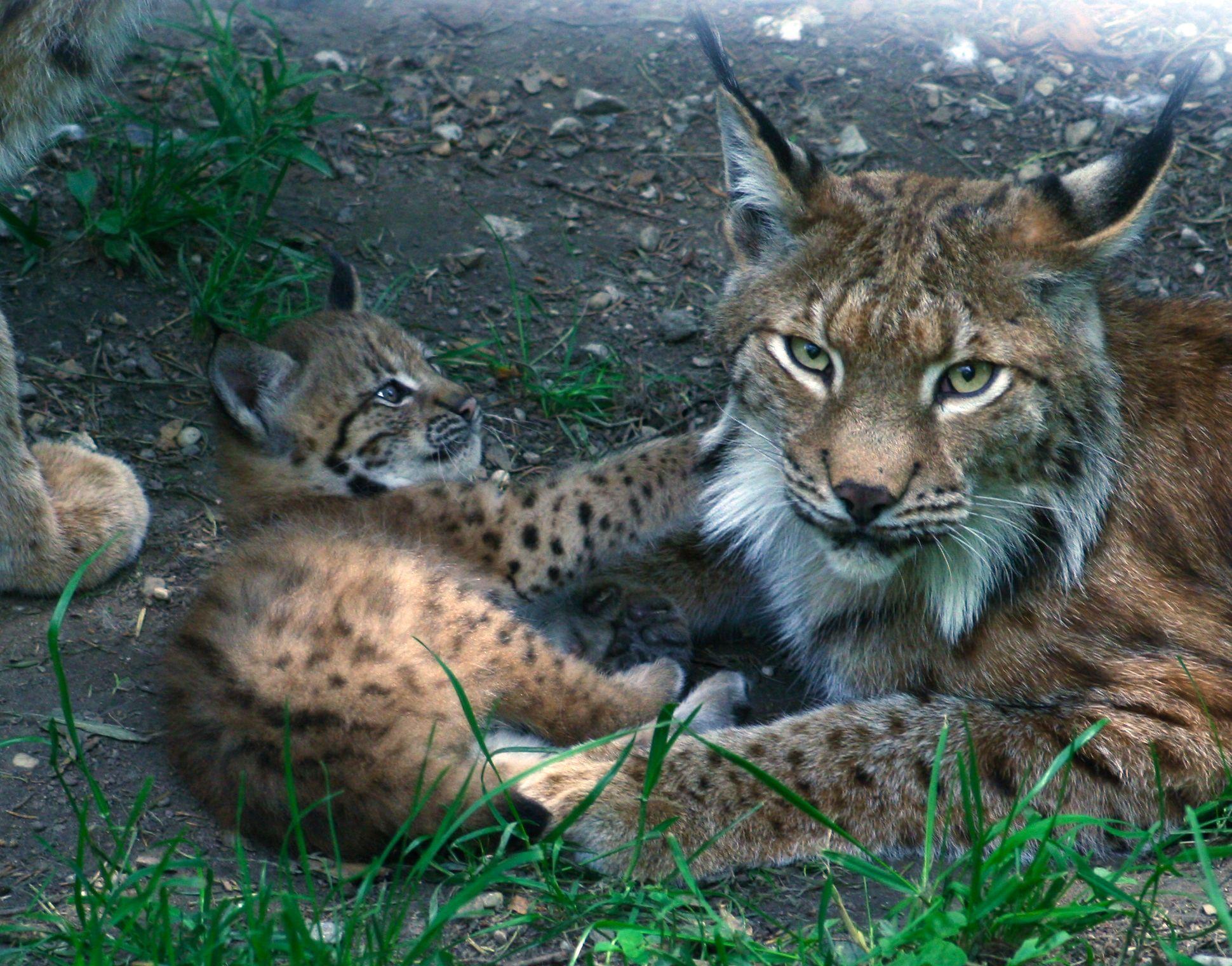 Baby Luchs Google Suche Small Wild Cats Animals Wild Cats
