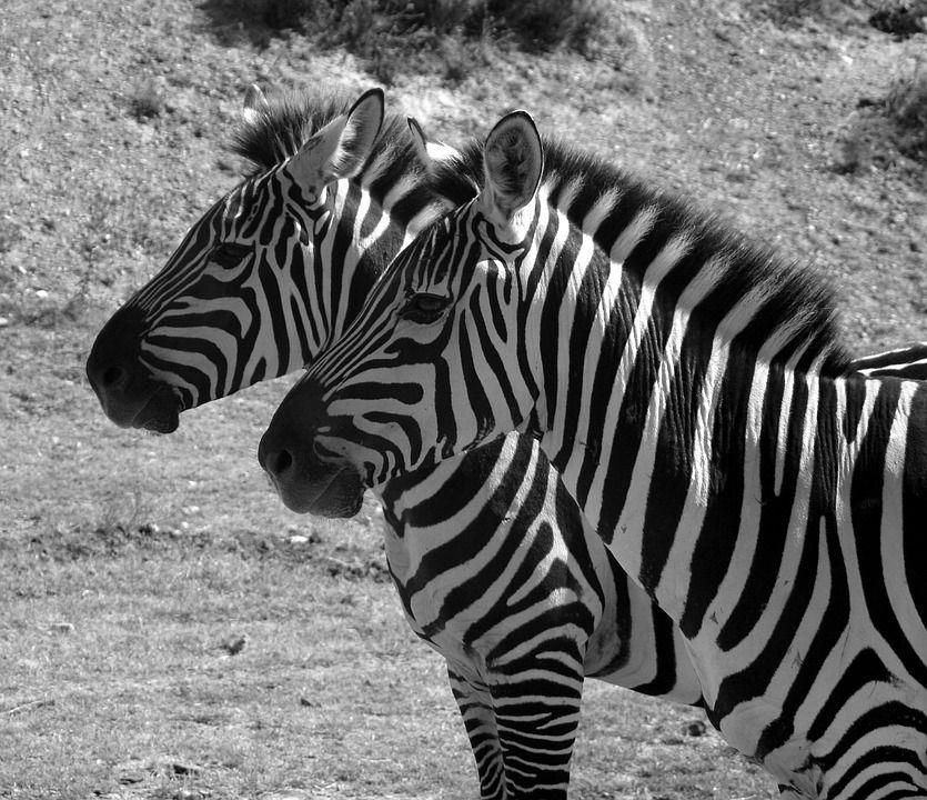 Foto gratis: Zebra, Strisce, Bianco E Nero, Due - Immagine gratis ...