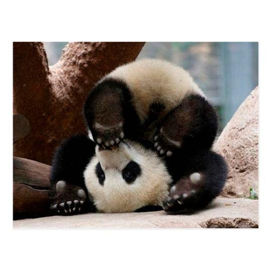 Baby pandas playing - baby panda cute panda Postcard #babypandabears
