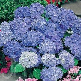 Home Depot Garden Club Plant Search Planting Hydrangeas Hydrangea Macrophylla Growing Hydrangeas