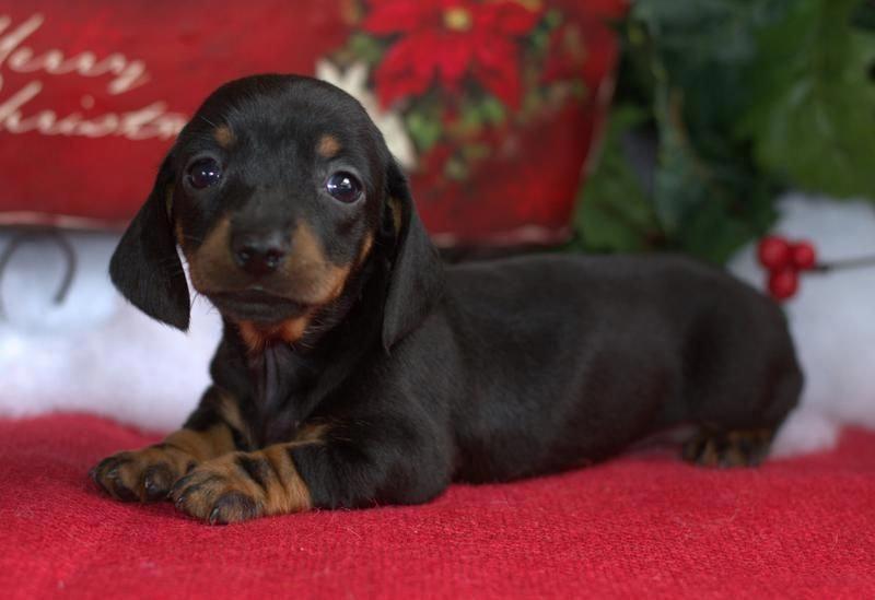Dachshund Funny Daschund Puppy Dachshund Puppies For Sale
