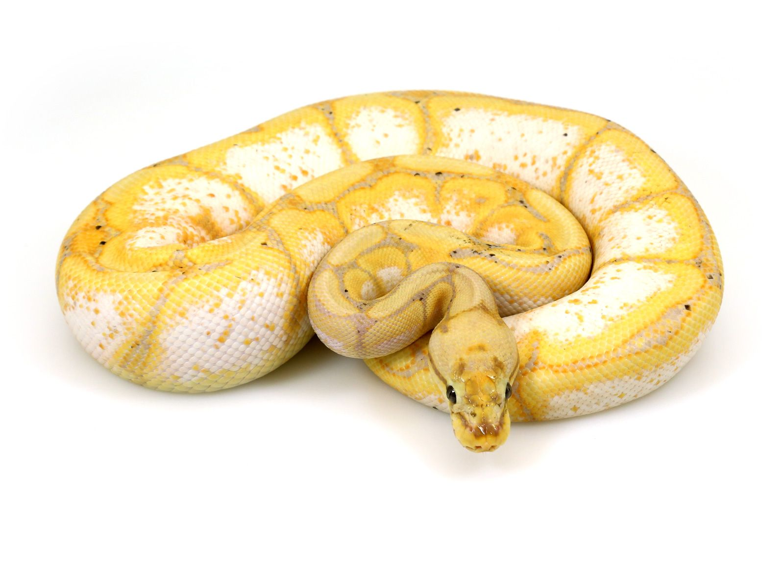 Banana spider ball python - photo#4