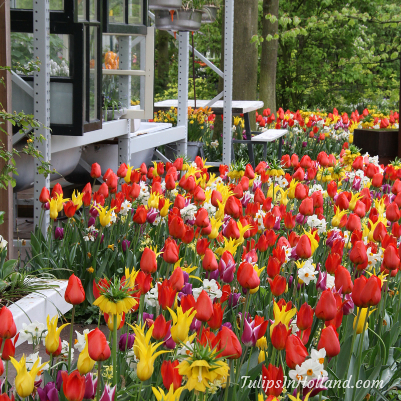 red and yellow tulips at keukenhof #travel to the #tulipsinholland