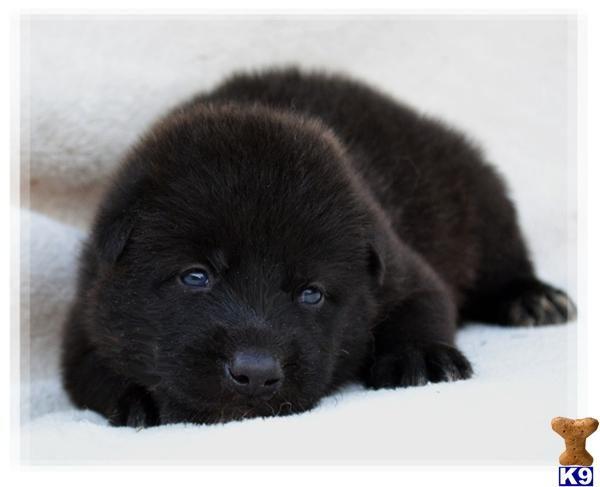 Florida Black Wolf Wolf 20husky 20pups Wolf Dog C2012830235446