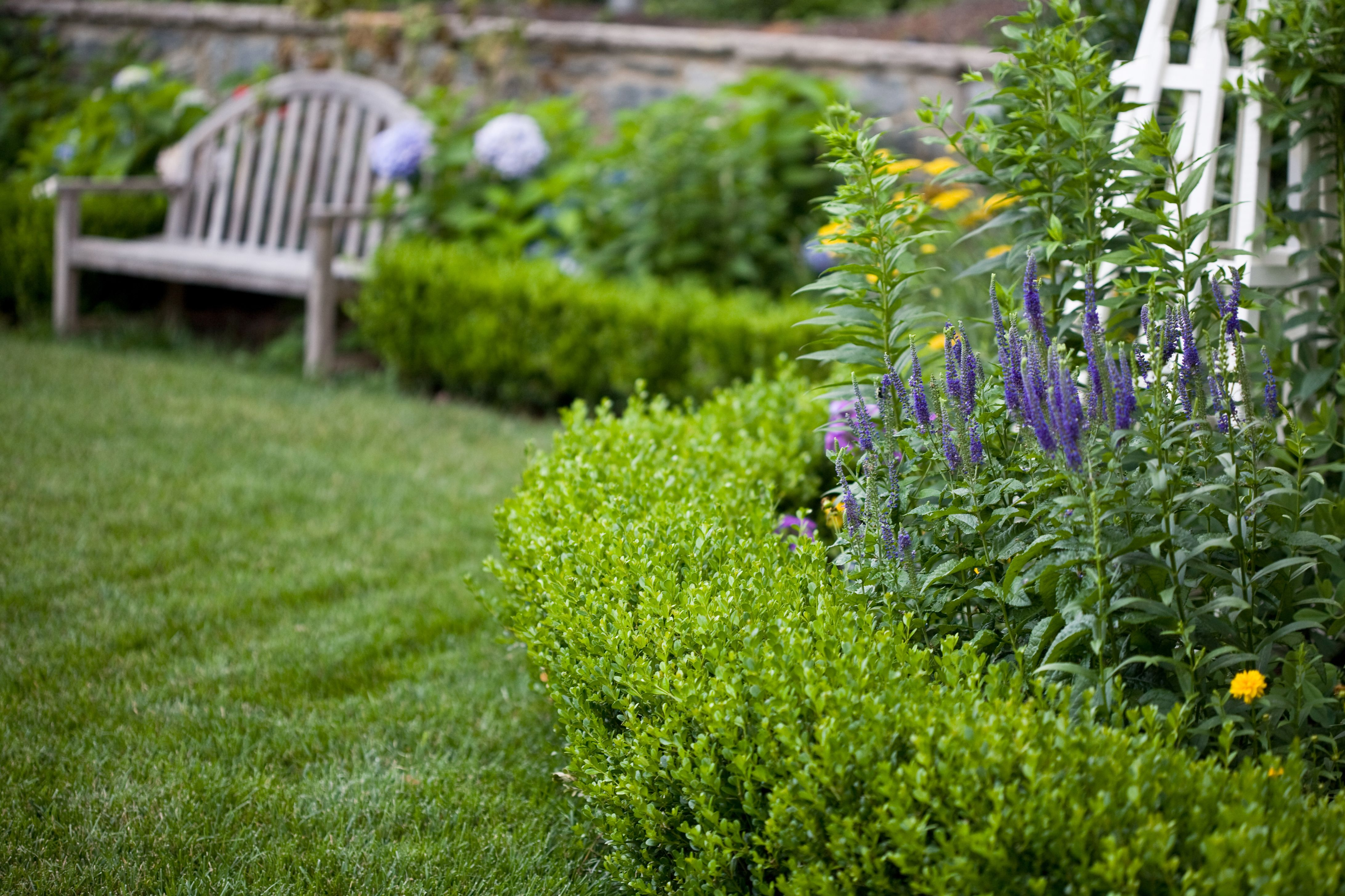 Korean boxwood hedge makes a crisp border for a perennial for Garden hedge designs