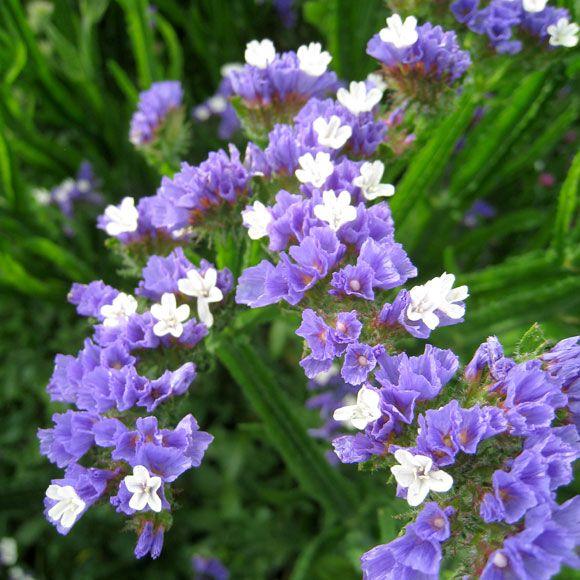 Blarisp Deep Blue Blomma Perenner Vaxter