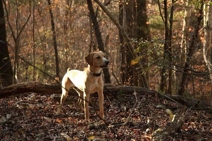 Original Mountain Cur Kemmer Stock Levi Squirrel Dog
