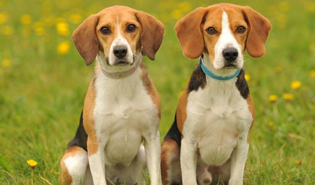 8 Different Types Of Beagles You Should To Know Beagle Breeds
