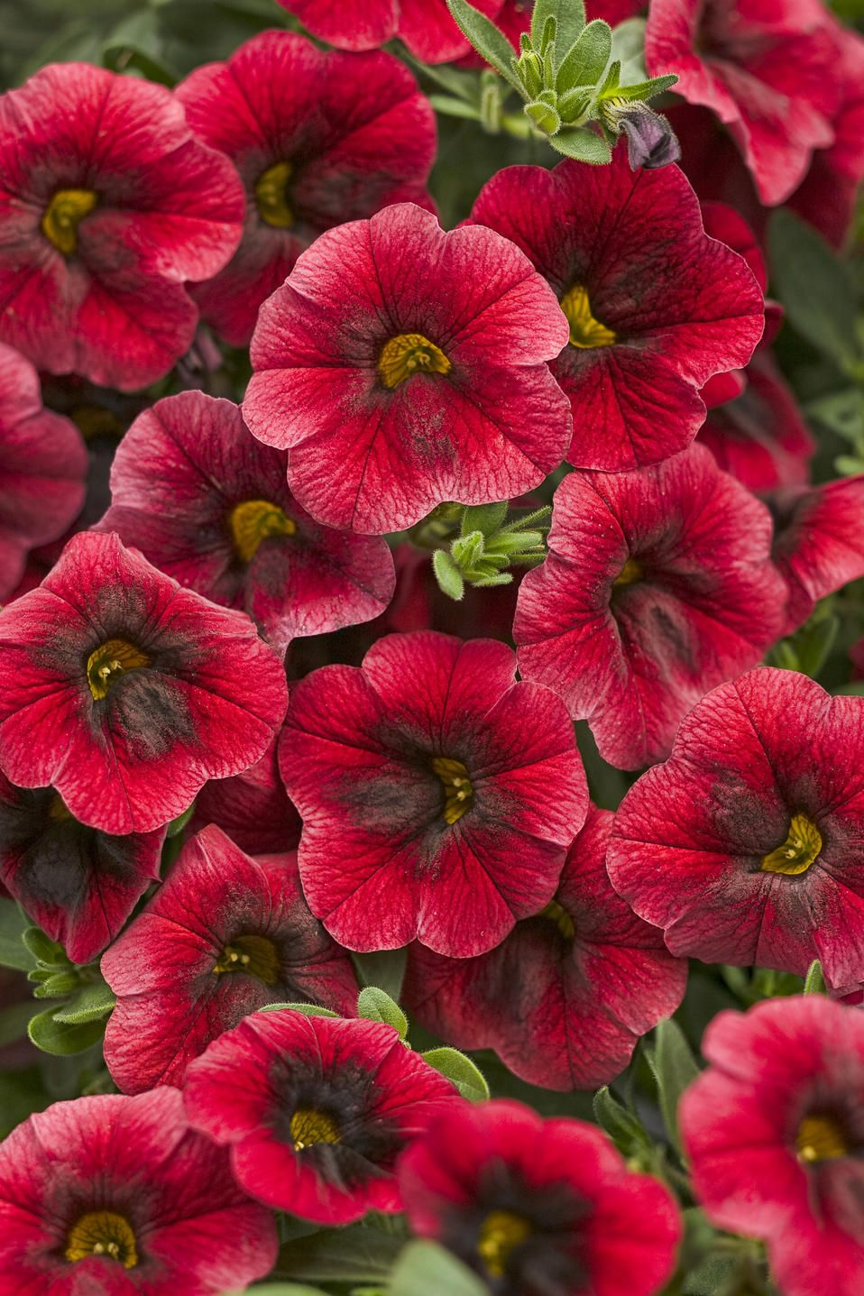 Gorgeous new variety for 2013 that have brilliant red petals and a dark black throat. Stellar plant with tons of possible container pairings. Calibrachoa prefer full sun and good drainage - best in containers, windowboxes, baskets where water saturation can be controlled. This 2013 variety is called Superbells® Pomegranate Punch.