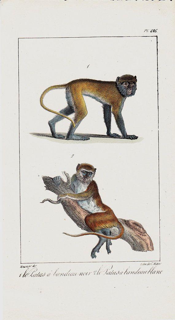 1780 Antique Monkey Lithograph Original Antique Hand Coloring Rare Print Affen Wolle Kaufen Motte
