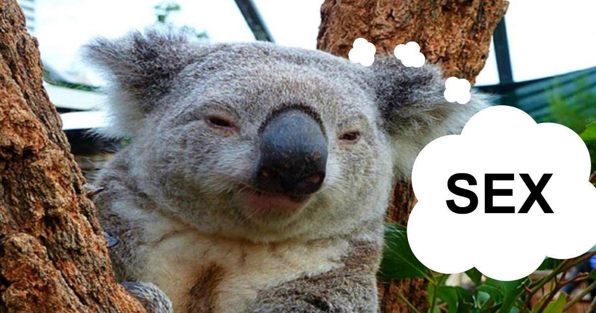 How koalas bears have sex