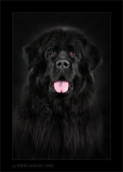 Pin Von Maxi Willing Auf Neufundlander Grosse Flauschige Hunde Hunderassen Liste Flauschige Hunde
