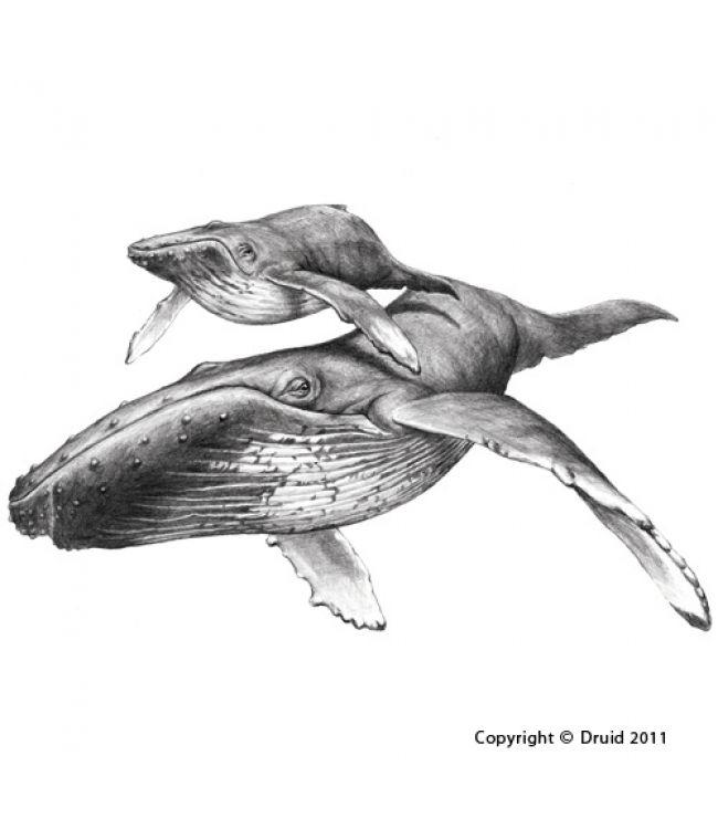 drawing humpback whale - Hledat Googlem | Tattoo ...